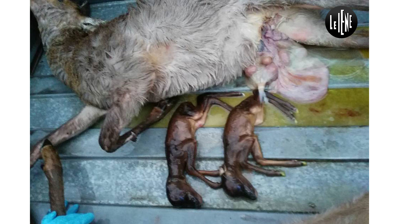 Famiglia di caprioli morti: cos'è successo?