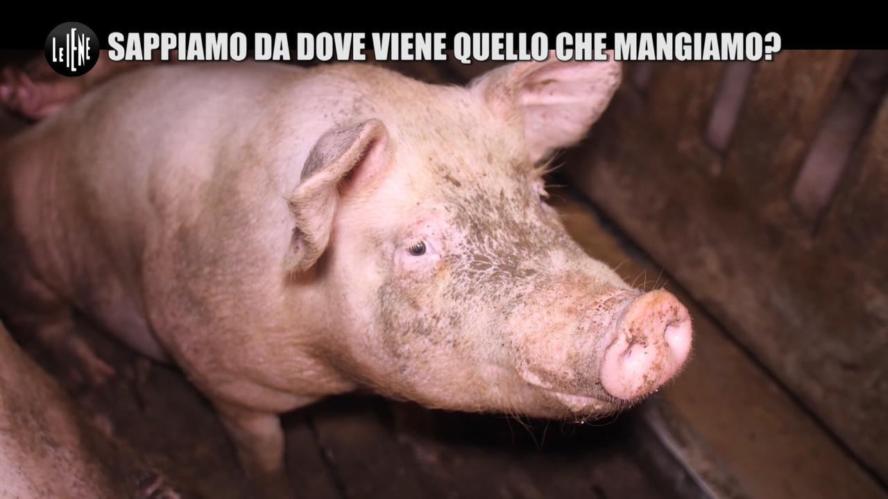 NINA: Allevamento intensivo di maiali: da dove viene quello che mangiamo?