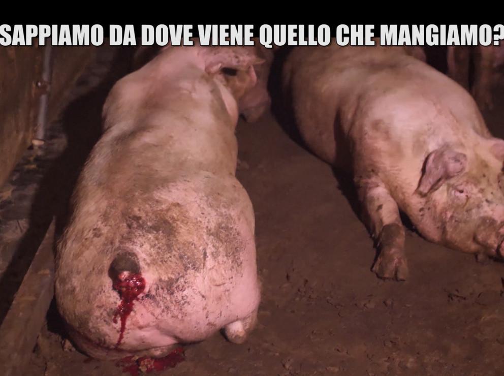 Allevamento di maiali, perché non sono state fatte sanzioni?