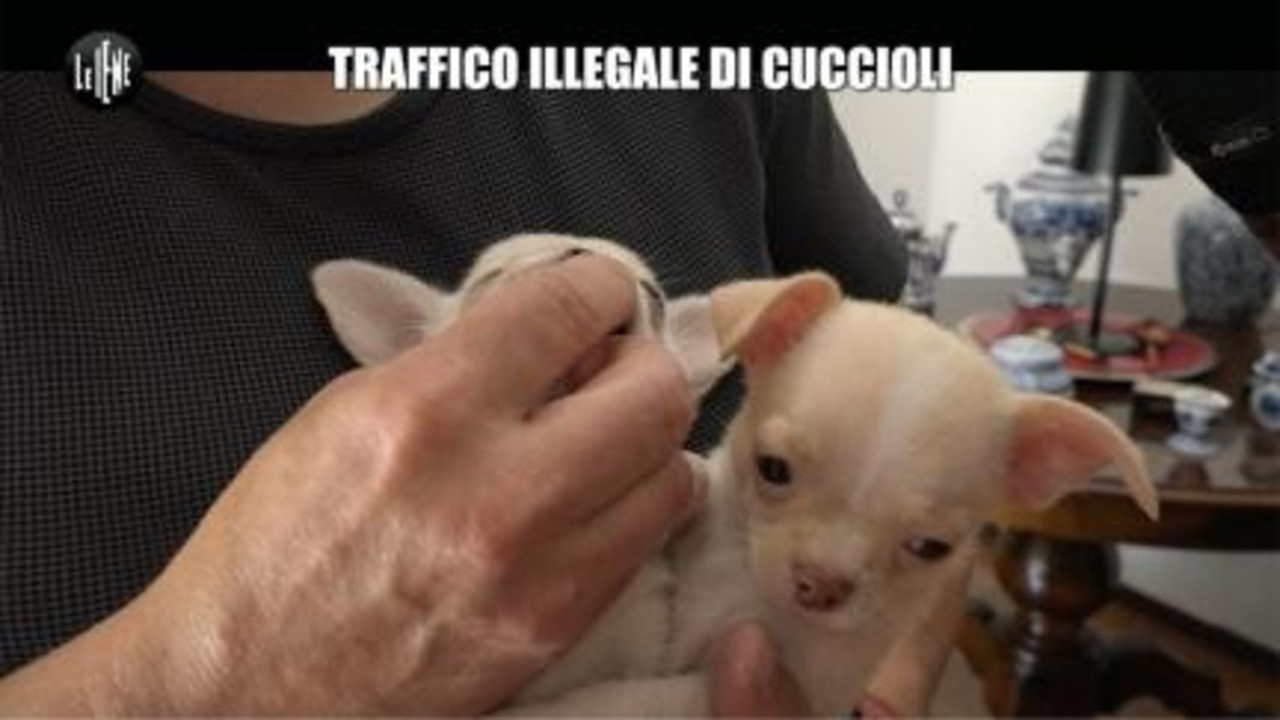Traffico Illegale Di Cuccioli Le Iene