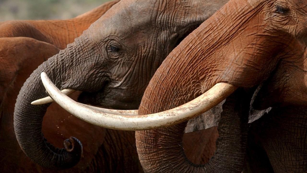 """""""Avorio illegale in Europa: elefanti a rischio estinzione"""""""