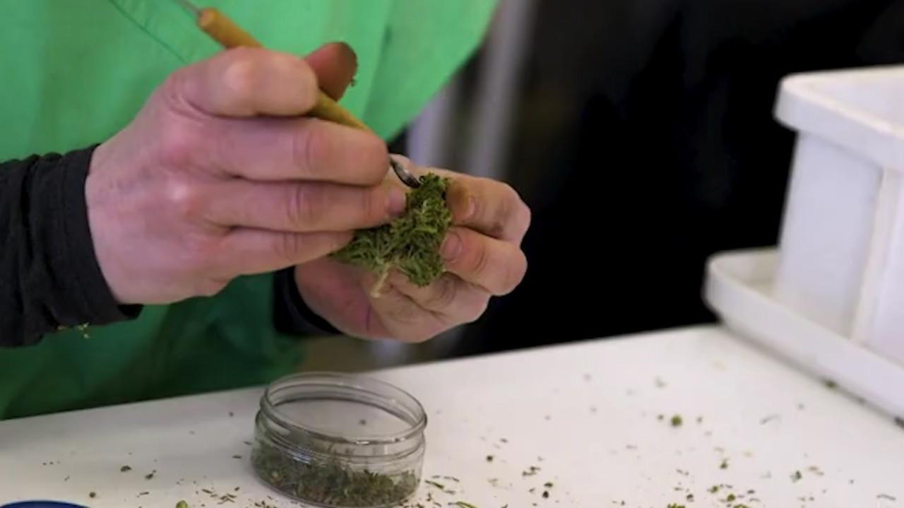 Lombardia, cannabis terapeutica: via libera alle cure gratuite