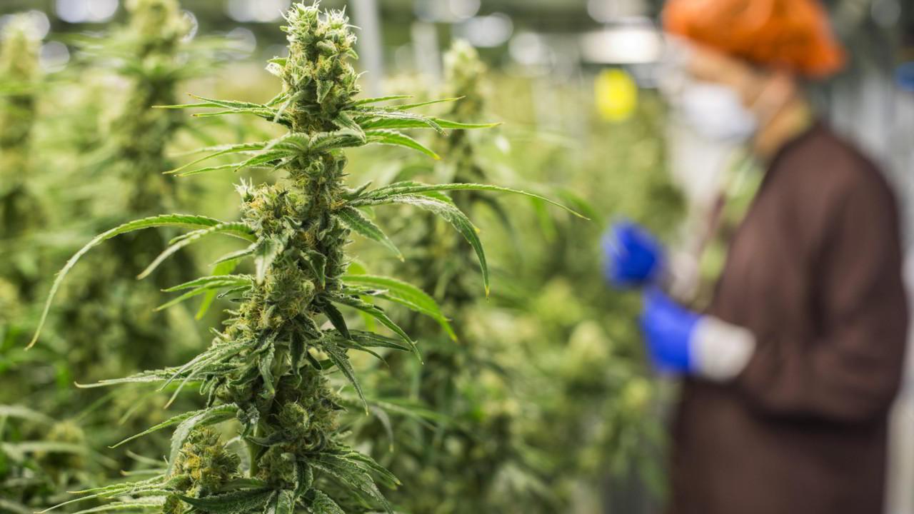 Matteo Salvini vuole limitare la cannabis light?