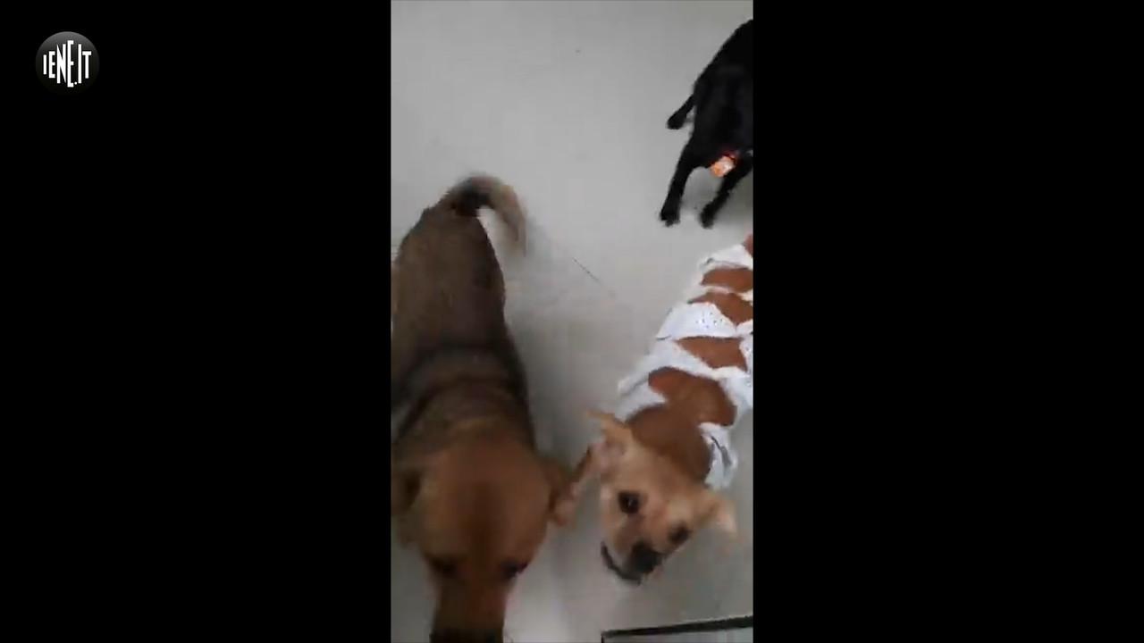 Yulin: strappati dal macello, le adozioni per i cani   VIDEO