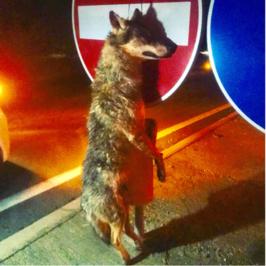 lupo impiccato cartello stradale viterbo