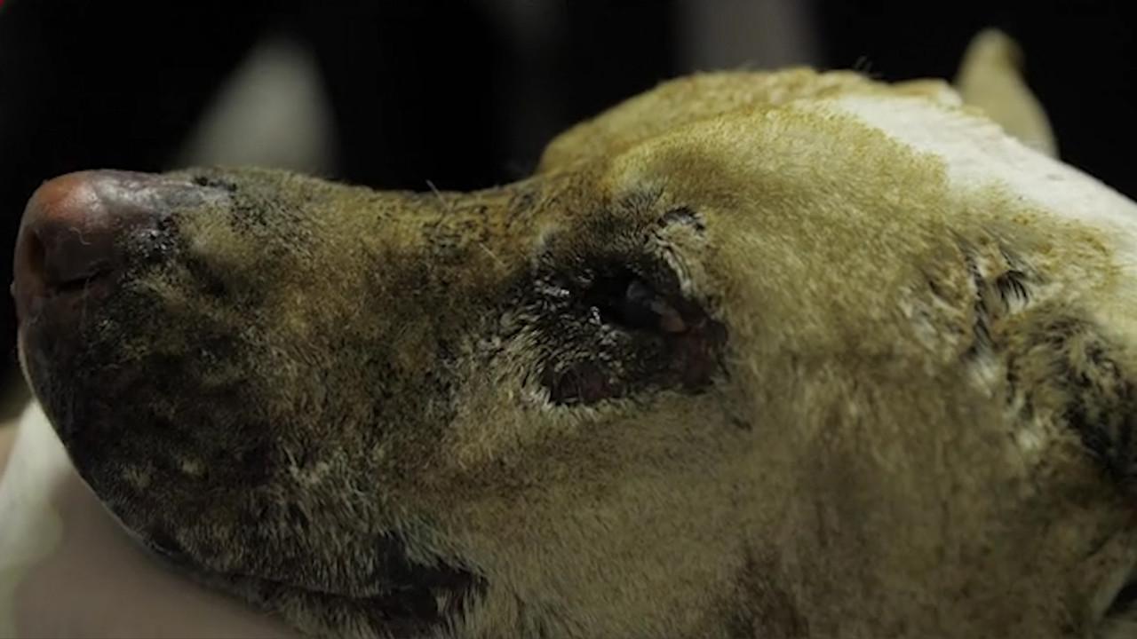 Cane bruciato vivo: grazie a voi i padroni possono pagare le cure