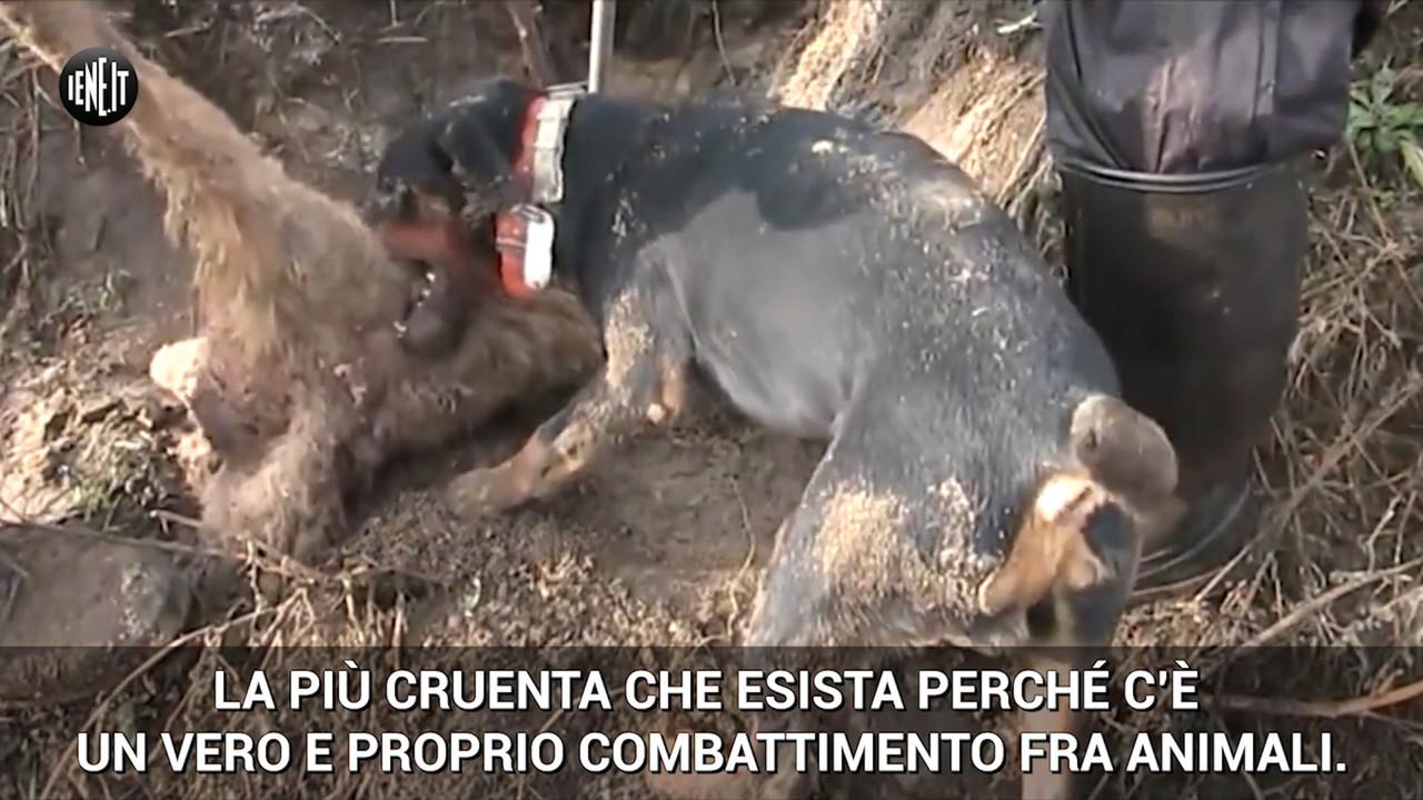 bracconaggio caccia volpe cani