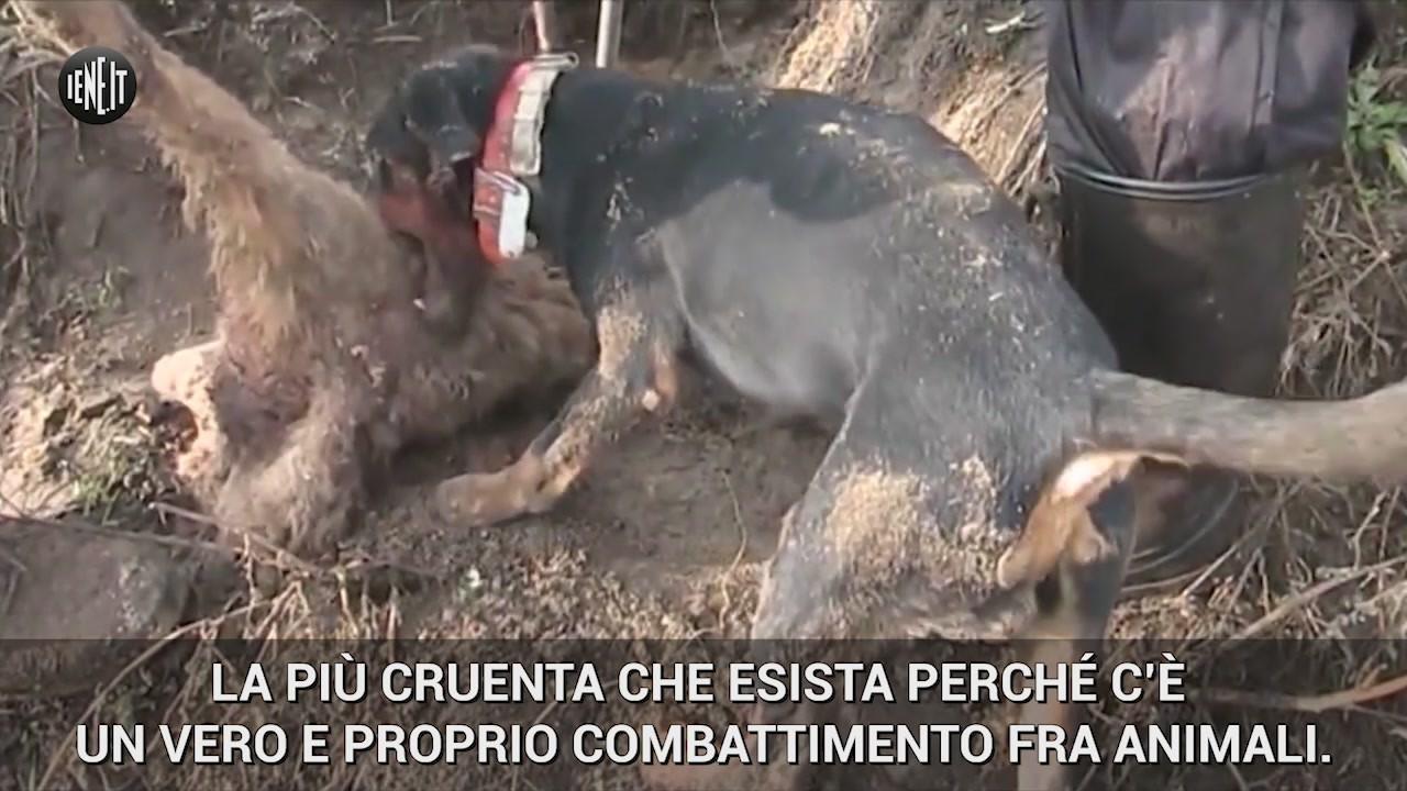 bracconaggio caccia volpe vergogna cani cacciatori
