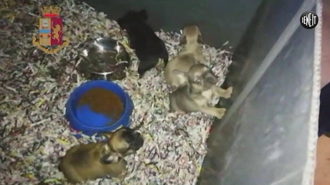 cuccioli cane toys vendita online trafficante arrestato