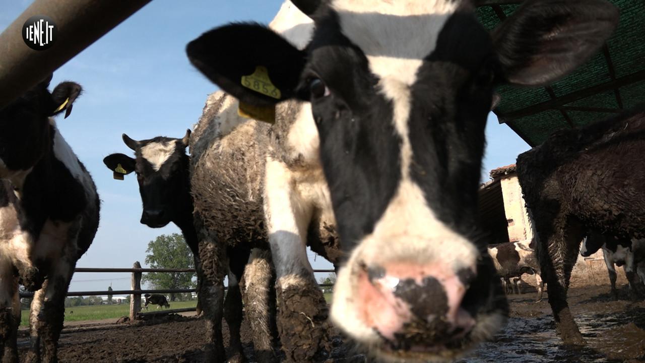 Le 100 mucche in ostaggio per una battaglia legale | VIDEO
