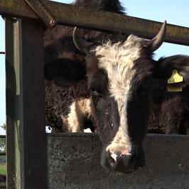 mucche cassina de pecchi macello appello aiuti