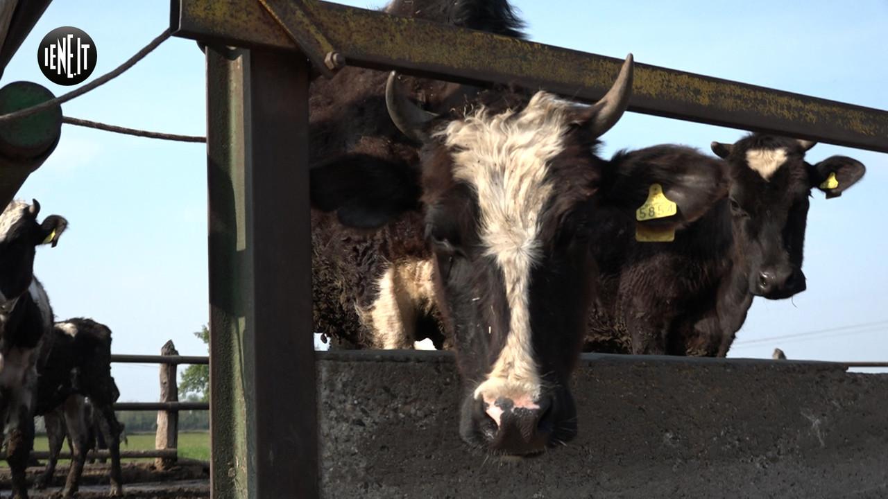 Gara di aiuti per salvare la carica delle 100 mucche dal macello