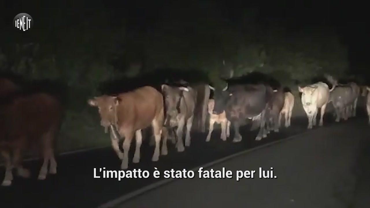 mucche vaganti incidente siracusa figlio morto appello