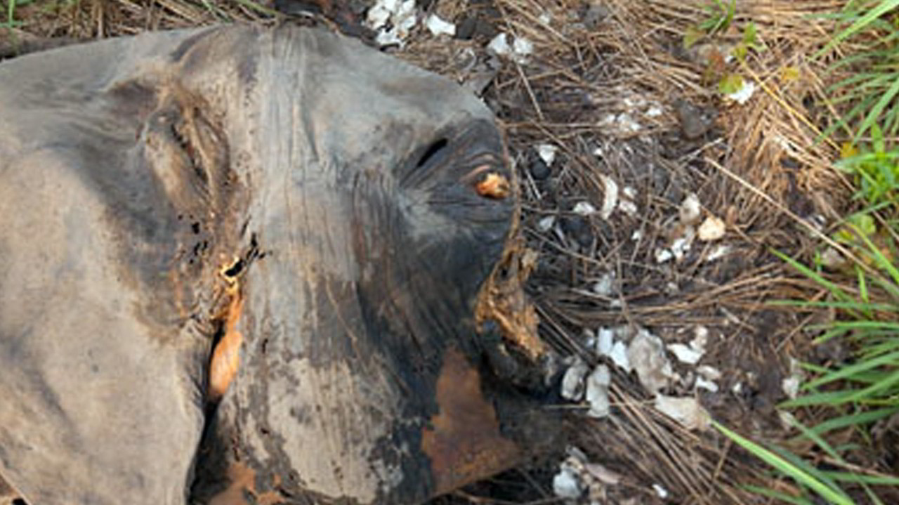 Tornano i massacri legali di elefanti per l'avorio? | VIDEO