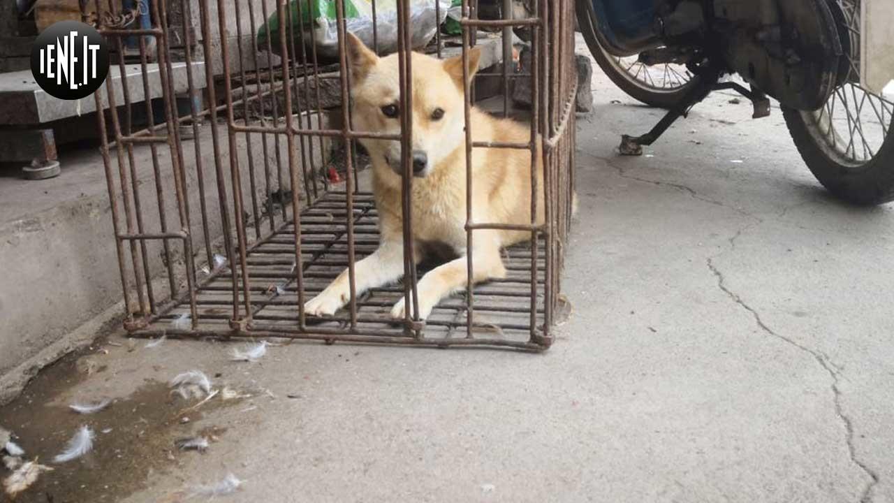 Yulin, le condizioni dei cani destinati alle tavole cinesi