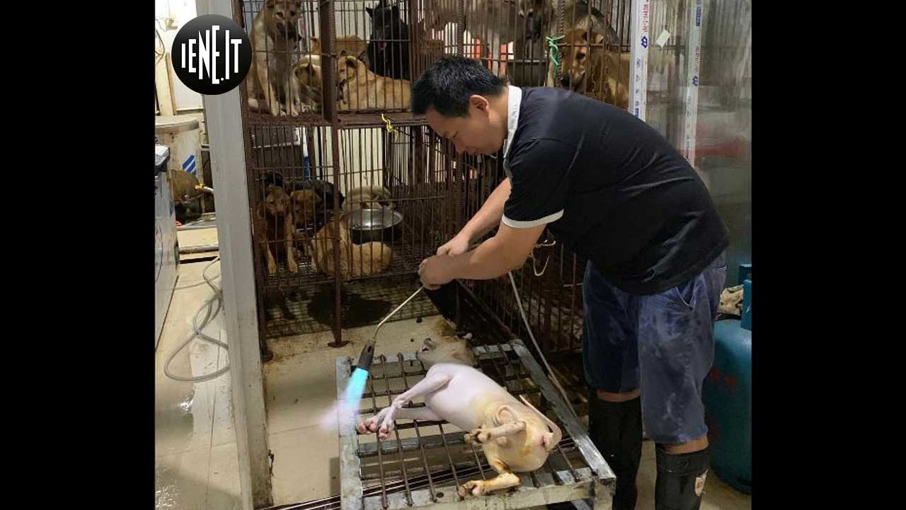 Yulin, nel mercato della carne di cane in Cina