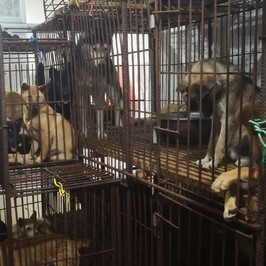 yulin cina carlino cani salvati macello carne