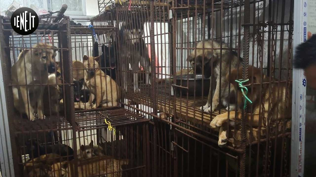 Yulin, un Carlino tra i cani strappati al macello cinese | VIDEO