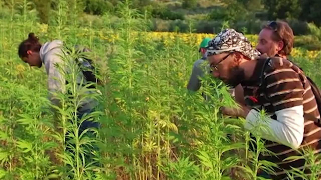 """Cannabis light, no a sequestri con Thc meno di 0.5%: """"Vittoria dei canapa store"""""""