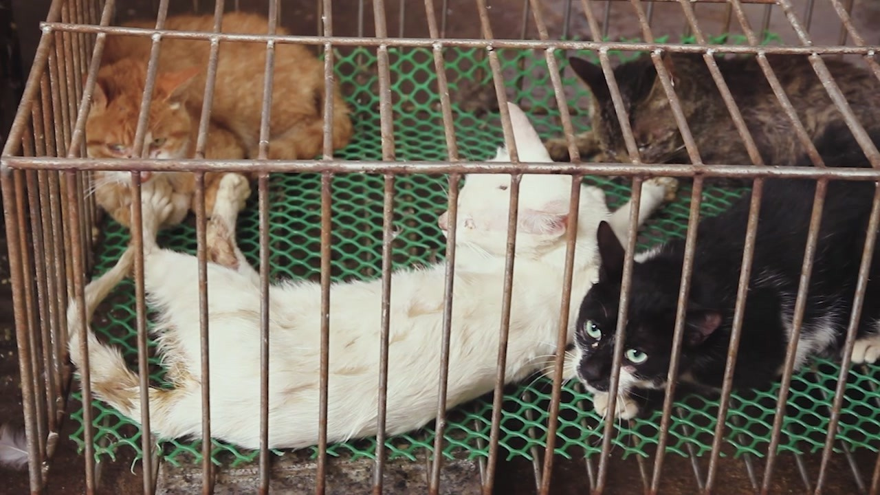 Yulin dog slaughter china iene