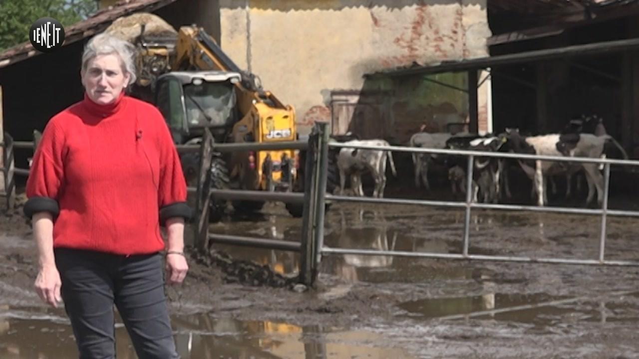 mucche cassina salvate macello asta