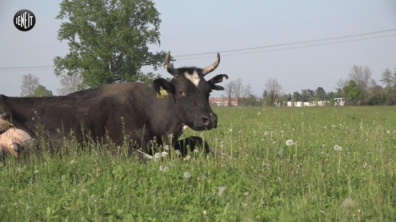 mucche appello cassina de pecchi ostaggio