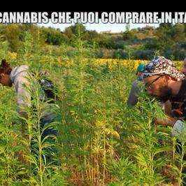 cannabis arriva tavola cibi
