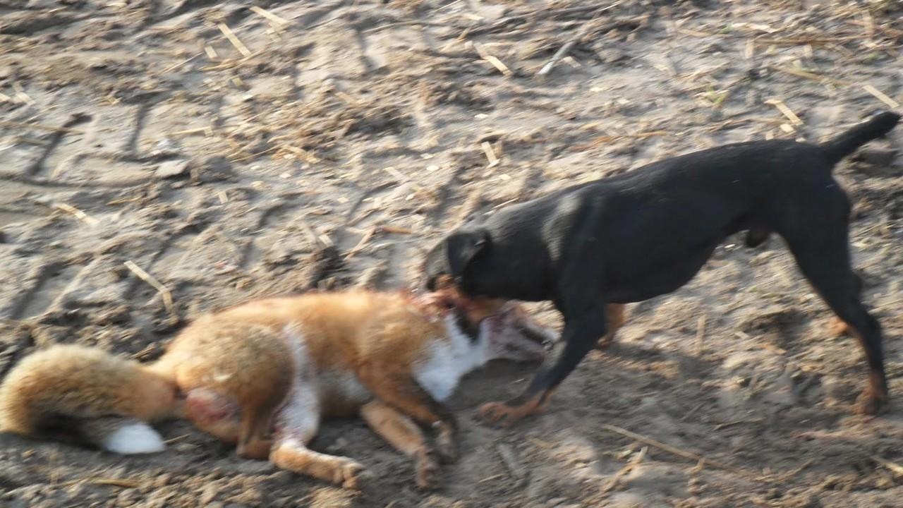 Caccia alla volpe, vittoria degli animalisti: stop al piano di controllo | VIDEO
