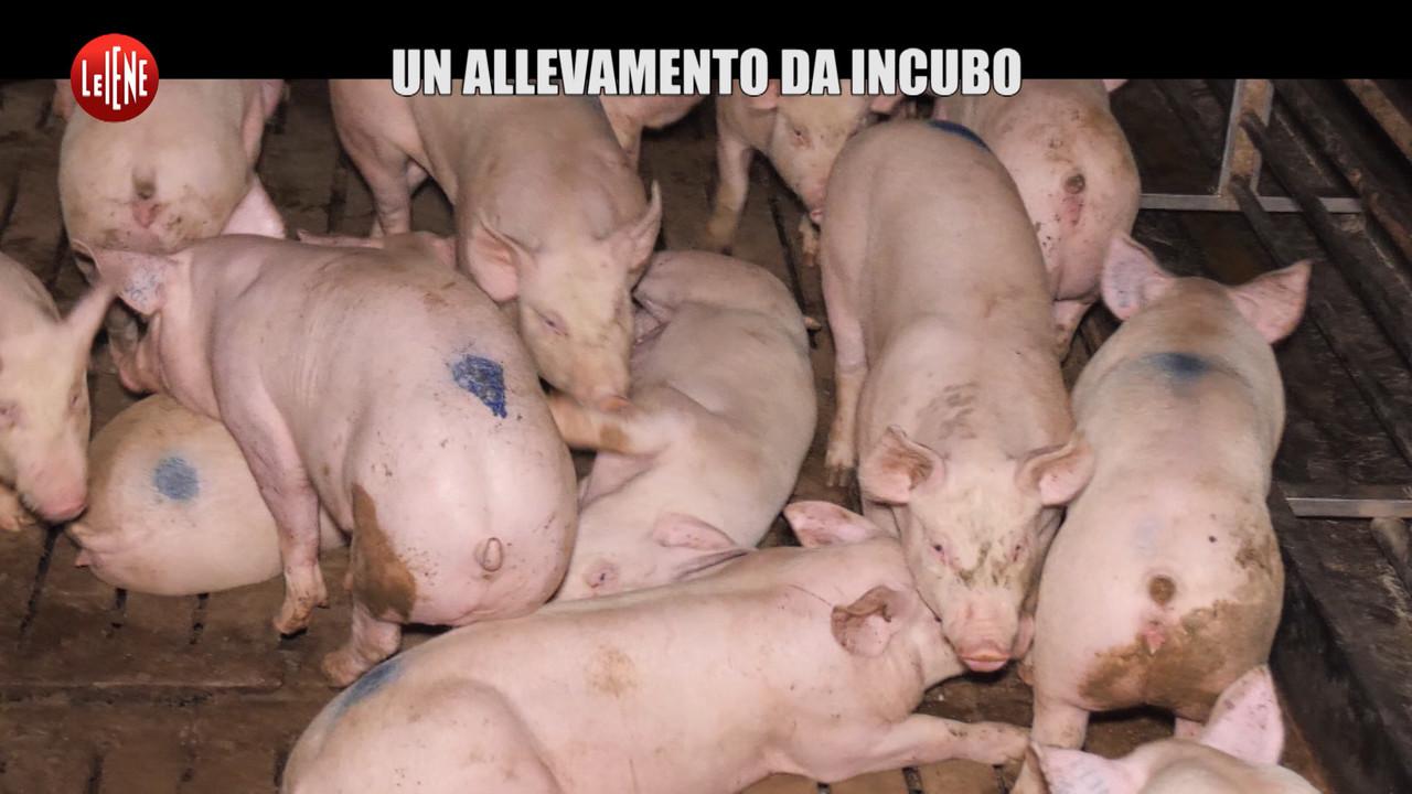 Allevamento da incubo: i maiali maltrattati | VIDEO