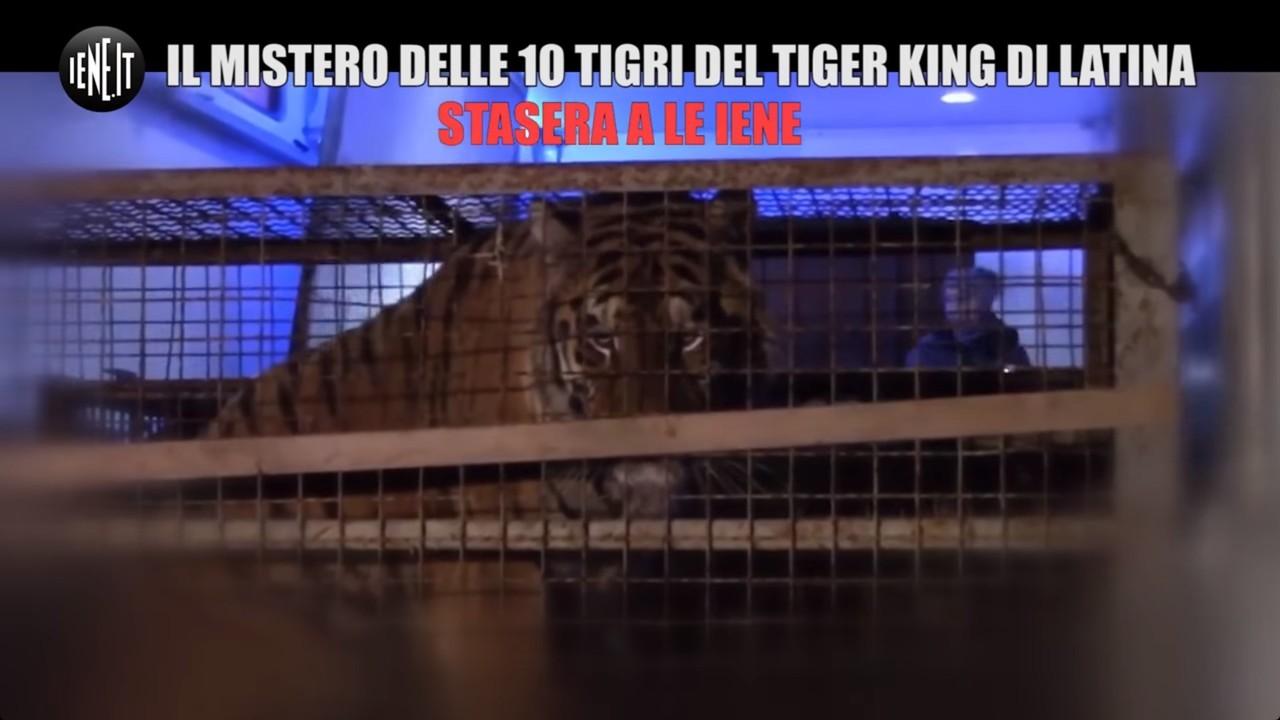 10 tigri partono dall'Italia per andare in un negozio di liquori in Russia | VIDEO