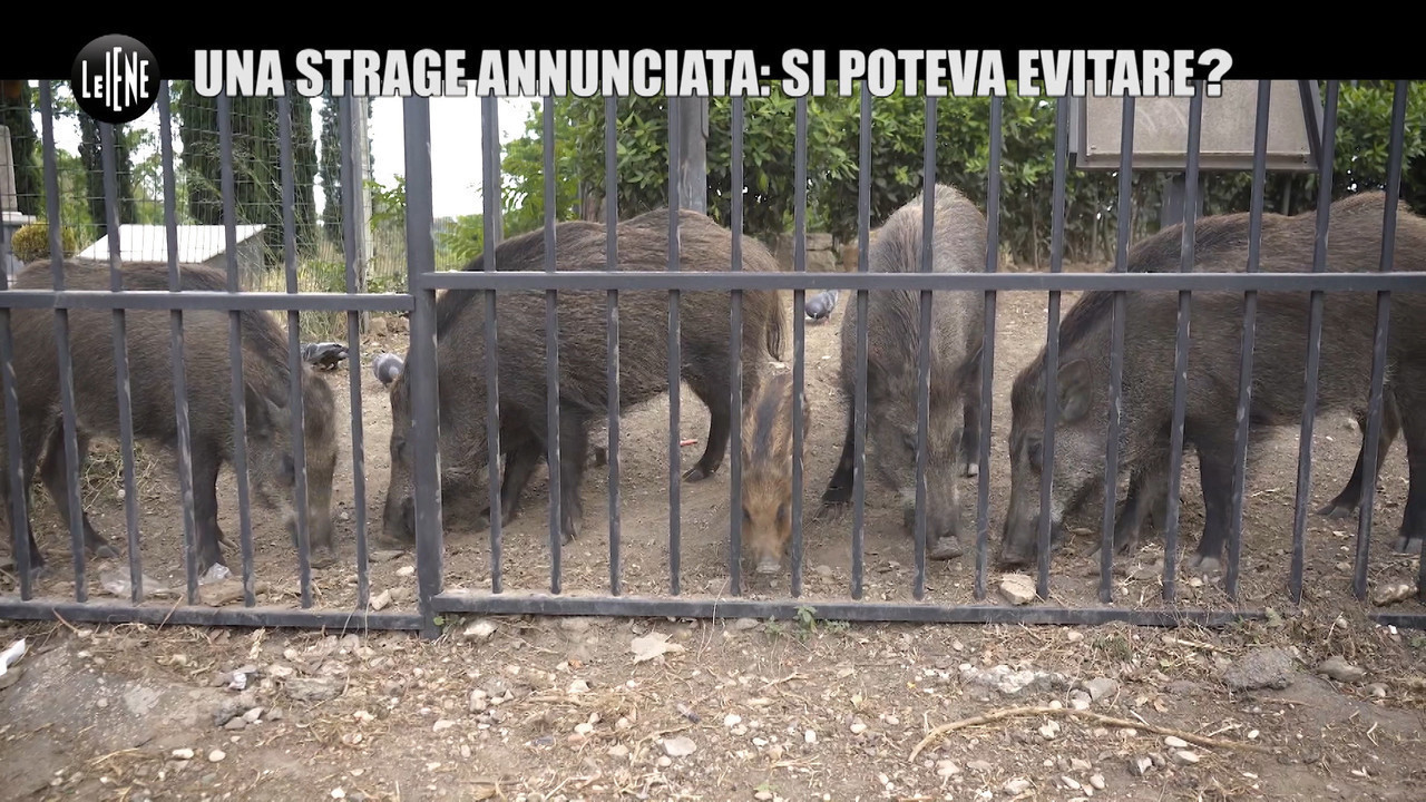 cinghiali uccisi roma massacro