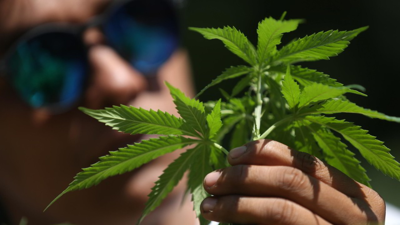 Cannabis, il referendum e il boom delle firme online | VIDEO